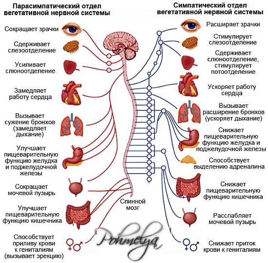 Лечить нервную систему домашних условиях
