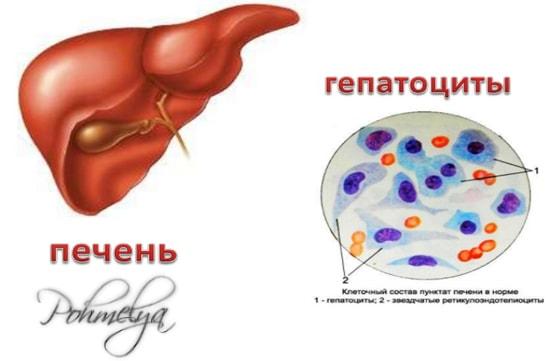 гепатоциты печени