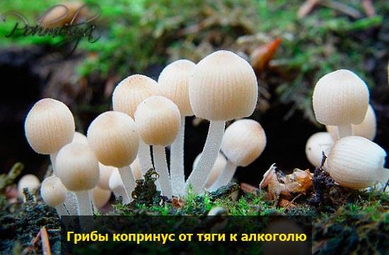 grib koprinus ot alkogolya pohmelya v2134 min